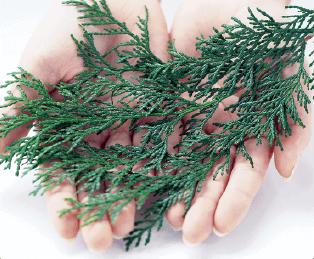 アロマオイル 葉